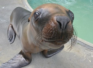 Sea lions are coming to Tampa's Lowry Park Zoo beginning Saturday. (Courtesy of Dave Parkinson)
