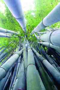 These towering canes of Bambusa chungii, also known as tropical blue bamboo, shoot skyward at Greenbelt Nursery & Bamboo Gardens on U.S. 98 east of Dade City. Members of the Land O' Lakes Garden Club recently toured the farm to check out Leonard Daszkiewicz's 10-acre garden sanctuary that includes his impressive collection of bamboo plants. (Fred Bellet/Photo)