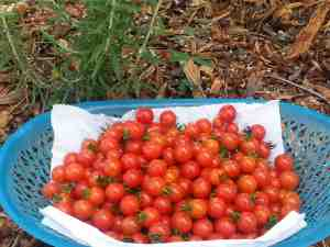 Tomatoes grow best when planted in cooler months, rather than during the heat of summer. (Photos courtesy of Nicole Pinson)