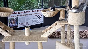 Kittens can be viewed on live cam as they play at the Kitten Cabana at Big Cat Rescue. (Courtesy of Denny Mitchell)
