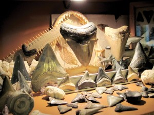 Mike and Seina Searle spend much of their free time hunting for fossils. The shelves in a room in their Lutz home are filled with items they've found. They have more in their garage and in a patio area out back.