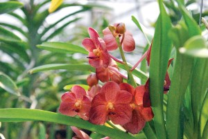 Vanda orchids produce bloom spikes that can last three weeks or more.