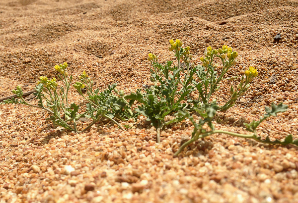 Endangered Tahoe Yellow Cress Stewardship Project