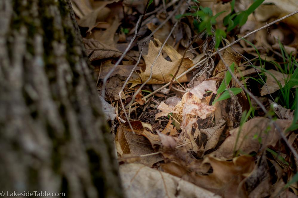 A white morel mushroom hiding in fallen leaves