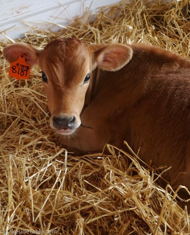 Cute calf laying in hay