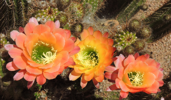 orange cactus, spring blossoms, cactus flowers