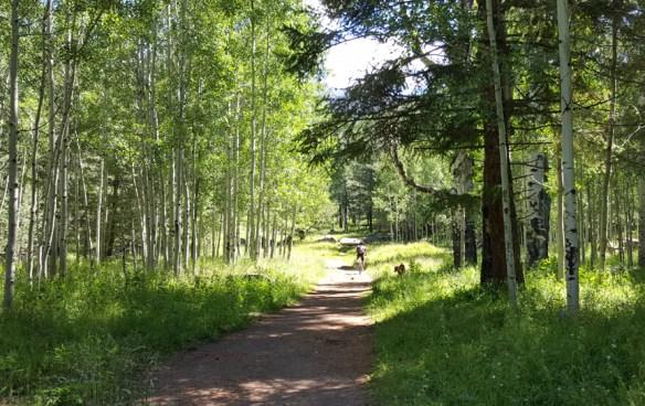 aspen grove in summer