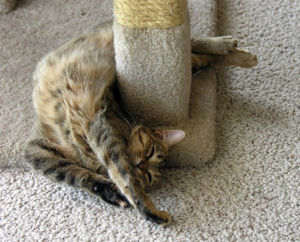 cat curling backward around scratching post