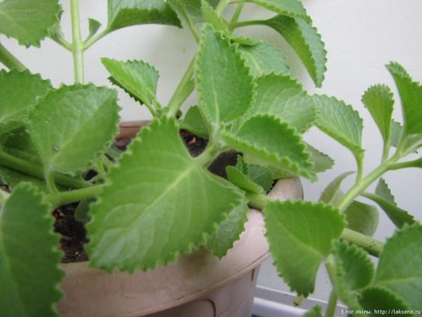 Шпороцветник ароматный, кубинский орегано, Plectranthus amboinicus