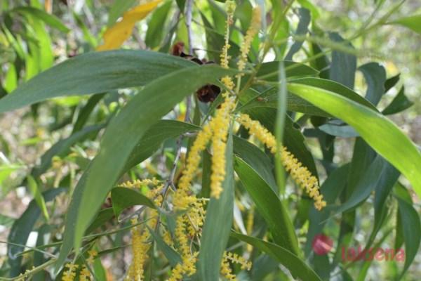 Акация ушковидная или Аури (Acacia auriculiformis)