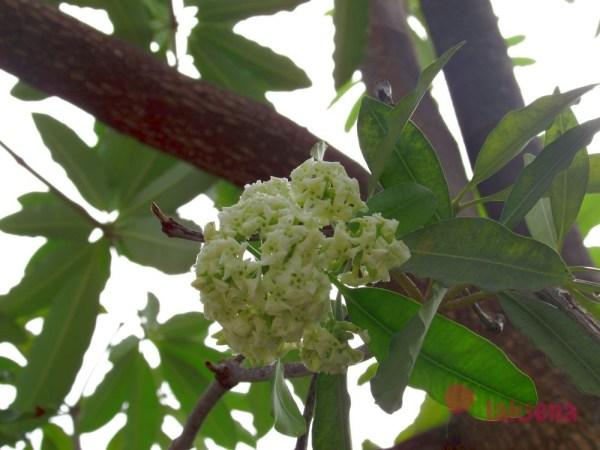 цветы таиланда Дита, или альстония (Alstonia)