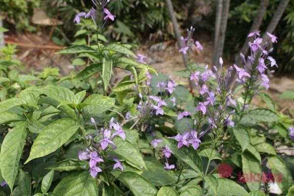 Псевдерантемум изящноцветковый (Pseuderanthemum graciflorum, Pseuderanthemum graciliflorum, Pseuderanthemum andersonii)