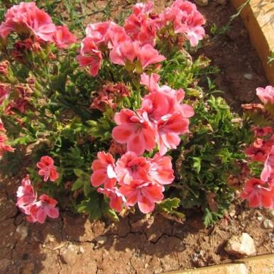 цветы кипра герань пеларгония