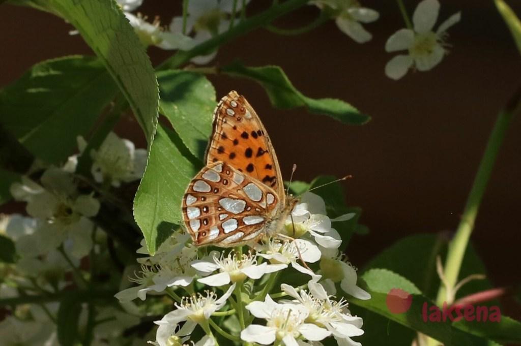 Перламутровка полевая бабочки сибири