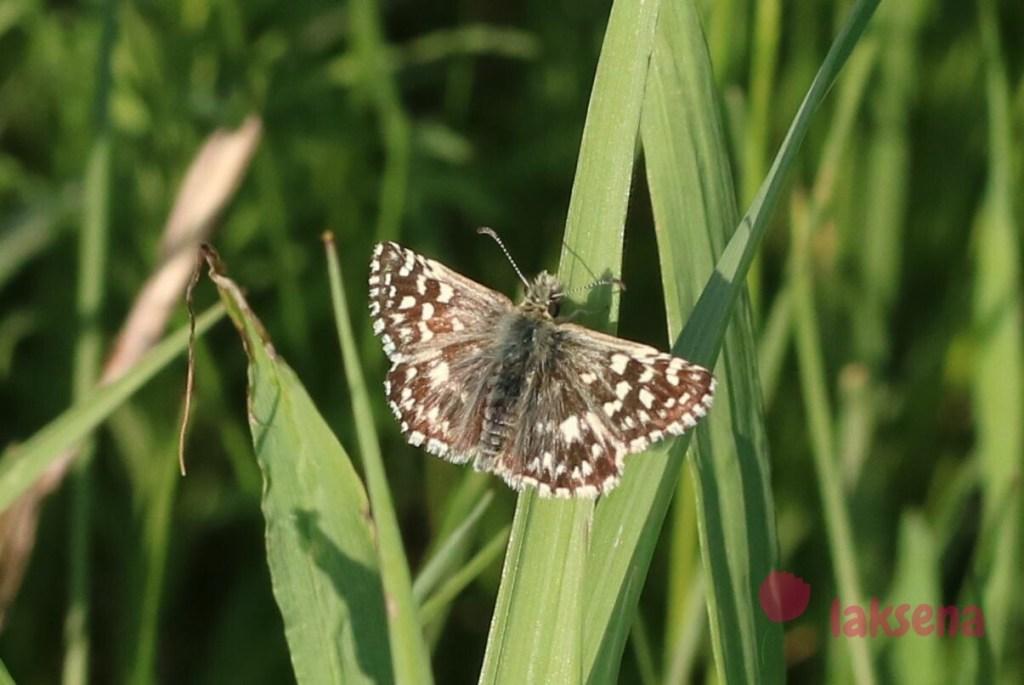 Толстоголовка мальвовая  бабочки новосибирской области