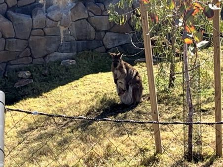 kangaroo with her Joey in her pouch