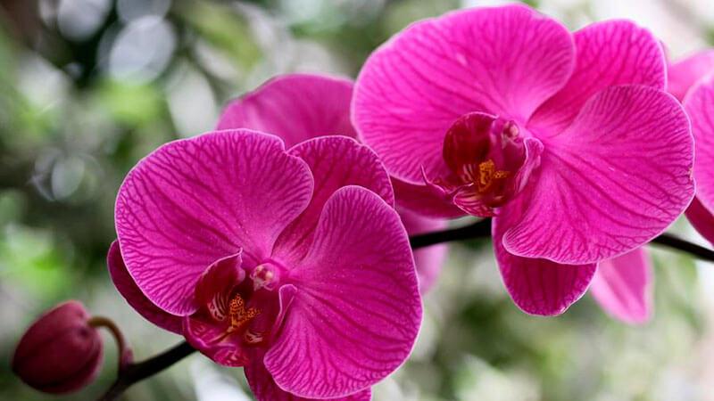 орхидея фаленопсис уход в домашних условиях