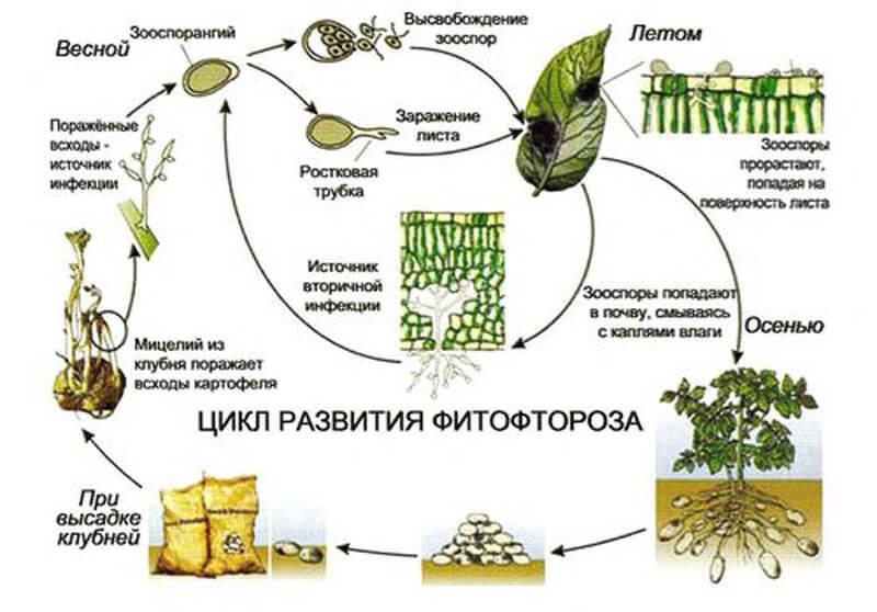 цикл развития фитофтороза