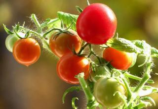Выращивание помидоров на подоконнике зимой.