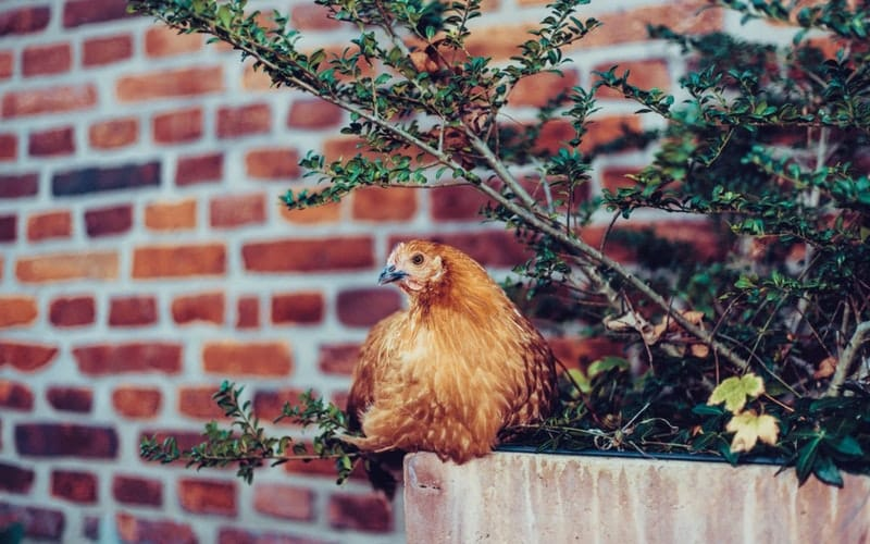 chicken is the most popular non-vegetarian food worldwide