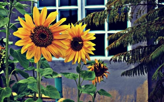 sunflower in russia