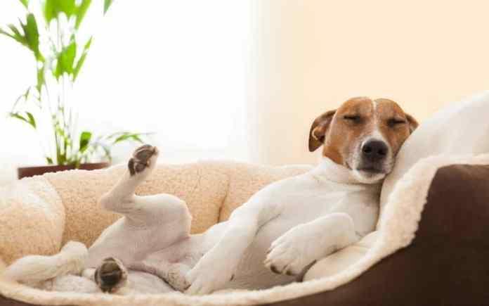 dog sleeping in sofa