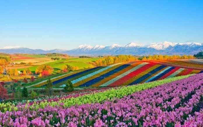 japan flowers fields