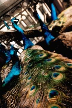 Dean Karr - Peacock Detail