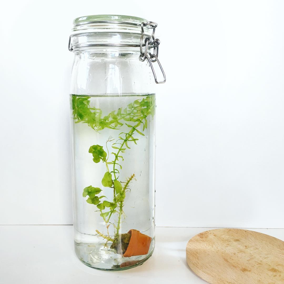 La plante aquatique en bocal