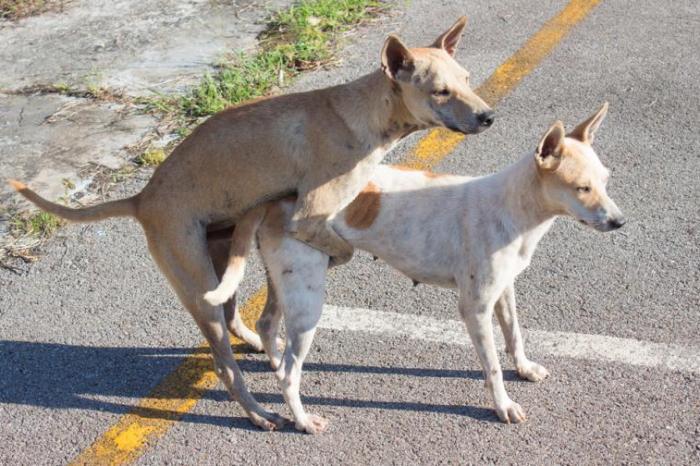 El Provencio sigue los pasos del Ayto. de Las Pedroñeras con el pañal de los perros y además obligará a poner preservativo a los perros que copulen en la vía pública