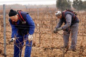Un vecino de Socuéllamos descubre que lleva días podando una viña que no es suya
