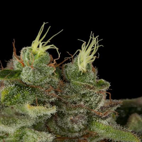 bubba-kush Humboltd seeds