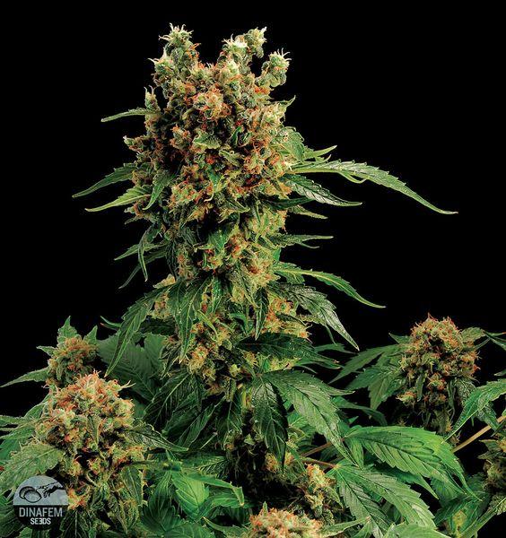 california-hashplant