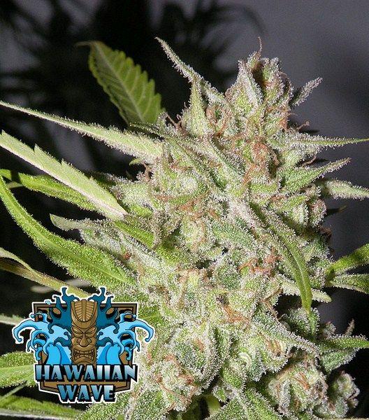 hawaiian-wave-ripper-seeds