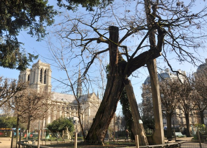 Paris en records - arbre le plus ancien
