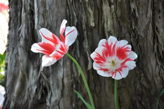 Jardin de Monet à Giverny - tulipes rouges