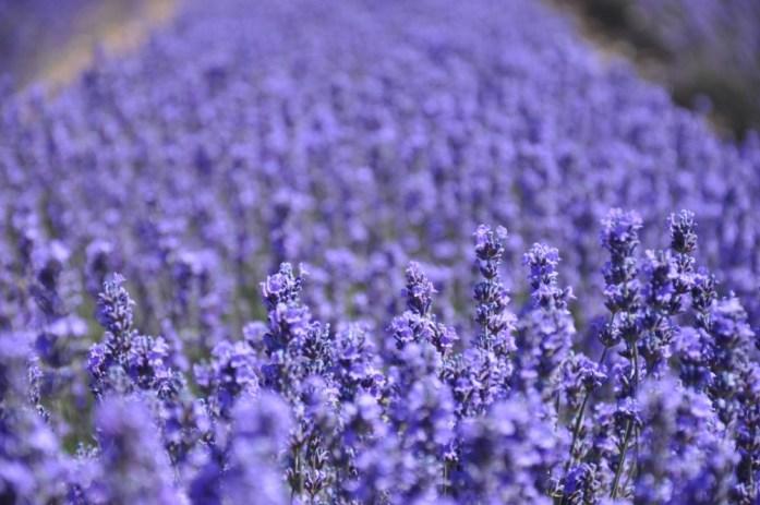 Photographier la lavande en Provence - champ bleu