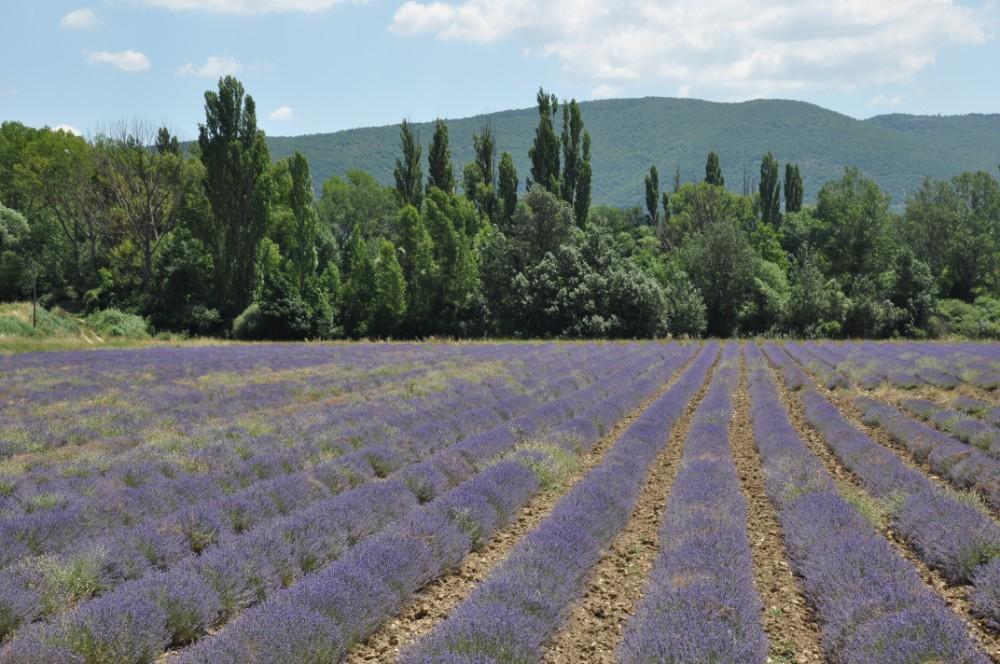 Photographier la lavande en Provence - rangées
