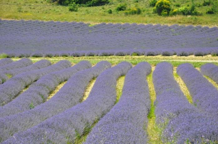 Photographier la lavande en Provence - Pays de Sault