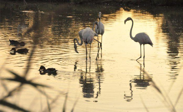 Camargue : flamands roses du parc ornithologique