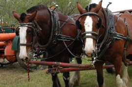 bigstock-Clydesdales-in-harness-43489153