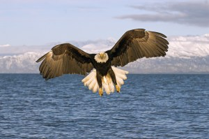 birds - American Bald Eagle
