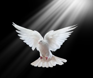 Spirit - A free flying white dove isolated on a black background