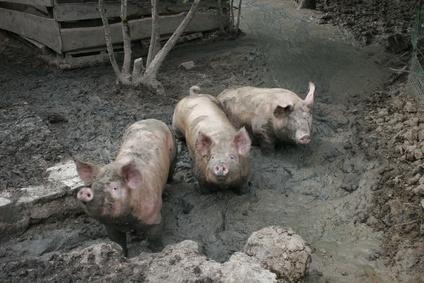 A Pig No More