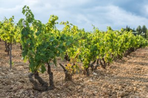 Shallow focus picture of a vineyard row full of green grapes