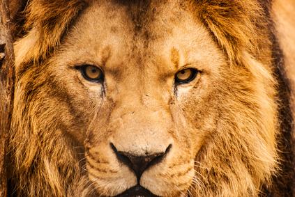 Walking Through 1st Peter – Resisting the Lion's Roar