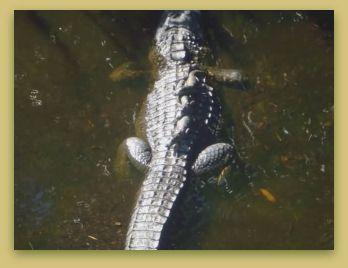 Alligator with babies