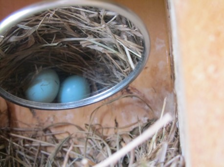 Mirror view of Bluebird eggs in nest box.