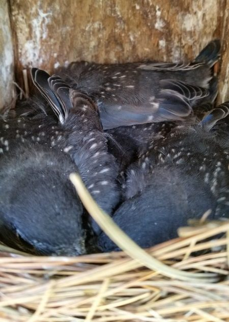 Bluebird chicks in nest box. © Angela T. Baron