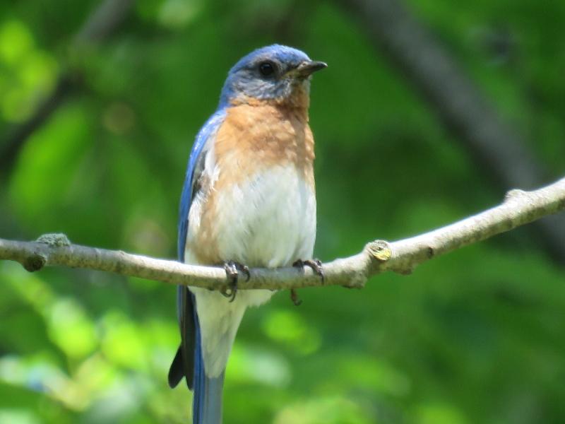 Male Eastern Bluebird © Angela T. Baron